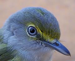 White-eyed Vireo (NY Birdr) Tags: bird ave vireo whiteeyed