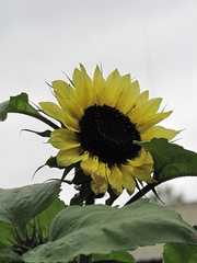 ~ not the sunniest day ~ (Elsa Kurppa) Tags: flower sunflower blomma 2009 solros kukka  helianthusannuus auringonkukka   elsakurppa