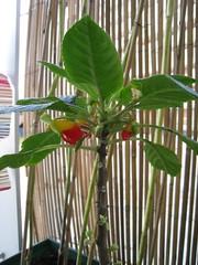 Parot plant