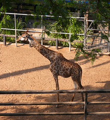 Giraffa (Zachi Evenor) Tags: animal animals zoo israel   giraffa      rishonlezion     zachievenor chaykef haikef chaikef