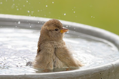 Splish splash I was takin' a bath! (Tony Tanoury) Tags: bird birdbath michigan sparrow fav splash housesparrow passerdomesticus littlestories femalehousesparrow picswithsoul