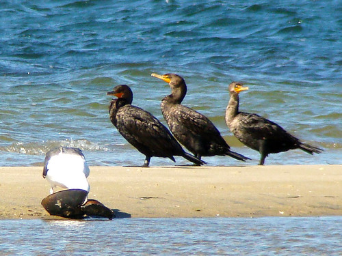 gbbg eating horshoe crab w cormorants sony