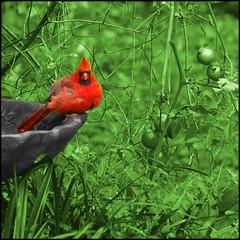 who you lookin' at? (dogfaceboy) Tags: red bird birdbath cardinal selectivecolor redbird