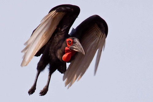 Southern Ground Hornbill - In Flight!
