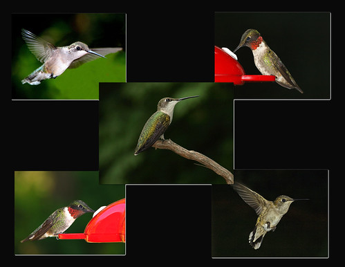 RUBY THROATED HUMMING BIRDS
