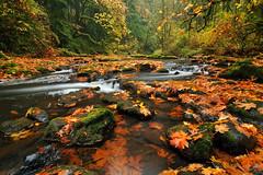 The Fallen (Michael Bollino) Tags: autumn fall nature wet colors leaves rain landscape washington leaf maple nikon northwest pacificnorthwest soaked d300 michaelbollino