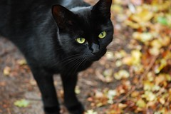 I'm watching you (Fletty Flicks) Tags: autumn england leaves cat blackcat furry october greeneyes catseyes blackfur