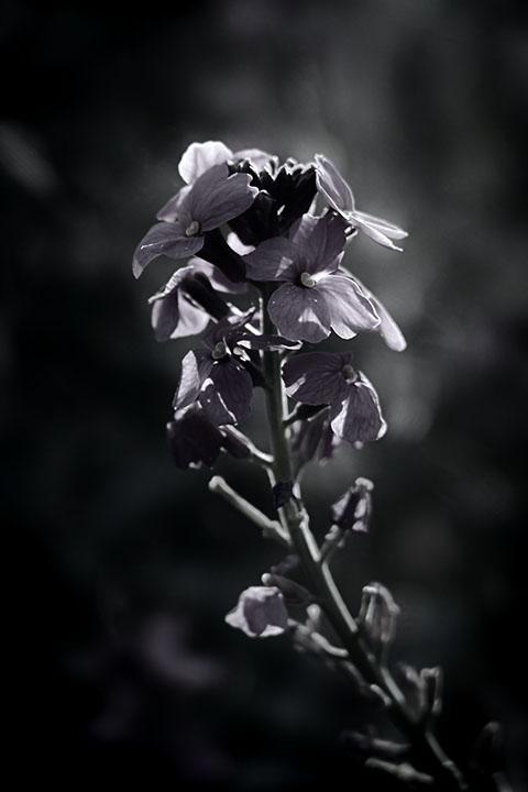 Photography - Hollyhocks by Nicholas M Vivian
