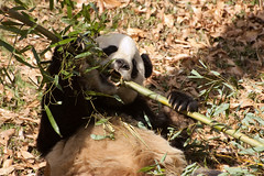 rawr (erin m) Tags: washingtondc panda communist dcist nationalzoo giantpanda taishan babypanda