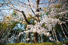 Sakura + Bamboo (Nazra Zahri) Tags: trees japan garden cherry nikon raw blossom bamboo  sakura 20mm nikkor okayama 2010 korakuen someiyoshino   20mmf28d d700