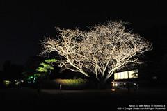 SUV_8760 (Cougar-Studio) Tags: castle nikon kyoto 京都 d3 nijo 二条城 nijocastle 世界遺產 元離宮 20110404