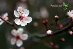 Sand Cherry Blossom (Rock Steady Images) Tags: ontario canada canon garden spring blossom bokeh handheld 200views rebelxt 50views sandcherry alliston 25views sigma1770mmf2845 7pointsystem bypaulchambers topazvivacity allistonareaphotographers rocksteadyimages