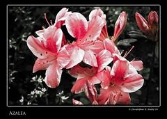 Azalea (Tofer Watts) Tags: red plant flower canon350d azalea canonxt