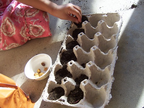 placing the moon flower seeds