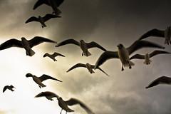 Möwen (Spieler Family) Tags: vögel möwen boltenhagen vgel