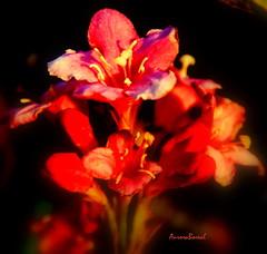 ... corar ....  to blush ..... (@uroraboreal) Tags: flores flower portugal vermelho redbull auroraboreal1 corar toblusch