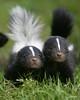 Skunk (floridapfe) Tags: baby cute animal zoo nikon korea skunk everland 에버랜드 platinumheartaward vosplusbellesphotos