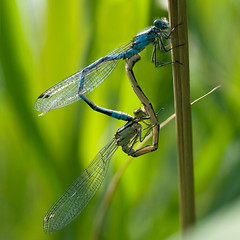 Damselflies mating (mistermacrophotos) Tags: blue summer macro green water up denmark wings close insects mating fredensborg