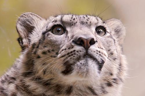 フリー画像| 動物写真| 哺乳類| ネコ科| 豹/ヒョウ| 雪豹|      フリー素材|