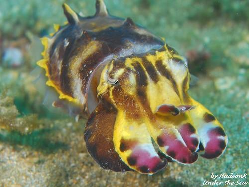 火焰花枝 - Flamboyant Cuttlefish(1)