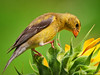 Goldfinch on sunflowers
