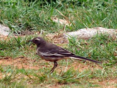 White Browed Wagtail (Aithal's) Tags: white bird madikeri wagtail murali whitebrowedwagtail browed canons3 motacillamadaraspatensis indianbird aithal karnatakabird