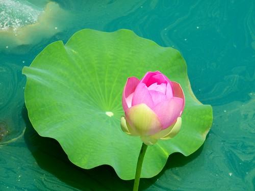Lotus & leaf