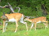 White-tail doe & fawn (Lindell Dillon) Tags: wildlife deer thunderbird whitetail