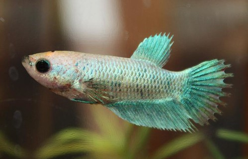 How to have a successful betta fish spawn my aquarium club female betta sciox Image collections