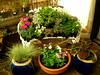 Blue pots with Flowers (boisebluebird) Tags: flowers plants flower garden gardening boise jade jadeplant vinca boisegardens michaeltoolson micaeltoolson boisebluebirdcom httpwwwboisebluebirdcom boiselandscaping boisegardener