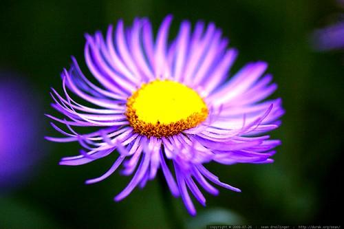 macro purple flower - _MG_9776