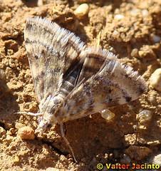 Borboleta Nocturna // Moth (Aporodes floralis) - by Valter Jacinto | Portugal