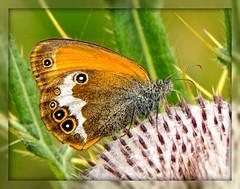 Coenonympha arcania (paolo-55) Tags: macro butterfly nikon natura farfalla d300 coenonymphaarcania 105mmvrmicronikkor natureselegantshots