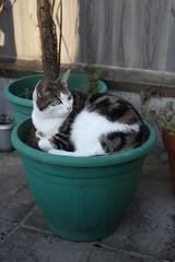 katinas vazone