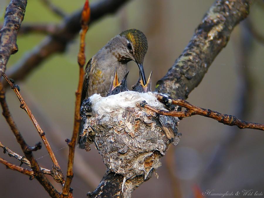 Anna's Hummingbird nest baby f02091-9