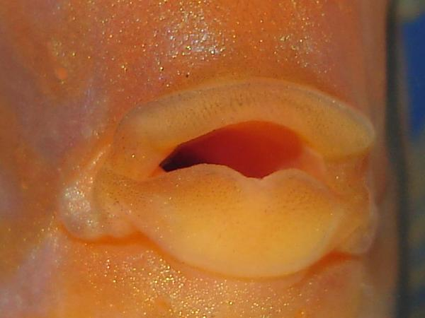 Discus Lips