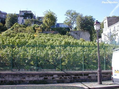 Les vignes de Montmatre
