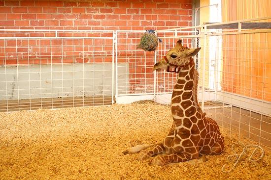 baby giraffe at the petting zoo
