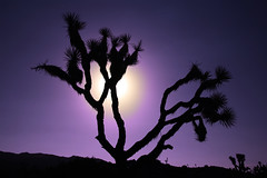 Joshua Tree (An diabhal glas) Tags: california sunset usa tree nature silhouette cali america evening nationalpark haze joshuatree violet filter californiandesert nationalparksusa joshuatreesilhouette lonelytreejoshuatreenationalpark