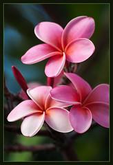 Pua melia (Plumeria) (TT_MAC) Tags: flower nature plumeria maui lei frangipani puamelia