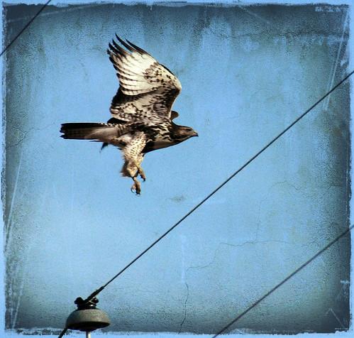 Hawk takes flight near aurora texture una cierta