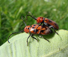 Red Milkweed Beetles (Wild Chroma) Tags: canada pair insects mating cerambycidae tetraopestetraophthalmus tetraopes tetraophthalmus