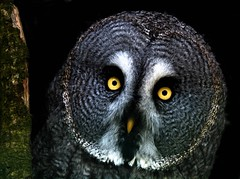 Great grey owl in the woods at night. (hawkgenes) Tags: uk nature birds wildlife owls birdsofprey potofgold specanimal colorphotoaward alemdagqualityonlyclub greatgreyowls hawkgenes