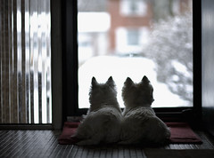 Waiting (paulh192) Tags: home kirby waiting sad lonely westies snoopi