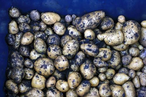 Autumn 2011 potato harvest