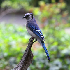 American Blue Jay (anoldent) Tags: portrait bluejay perching 500x500 canonef70200mmf28lisusm