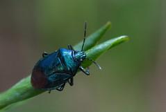 Blue Bug (ressaure) Tags: nature bug siberia stinkbug arthropoda shieldbug insecta  bluebug pentatomidae akademgorodok westernsiberia  taxonomy:family=pentatomidae novosibirskregion zicronacaerulea     taxonomy:binomial=zicronacaerulea