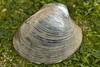 Manila clam - Venerupis philippinarum (Chris_Moody) Tags: sea animal shell shore seashore bivalve cockle manilaclam venerupisphilippinarum taxonomy:binomial=venerupisphilippinarum