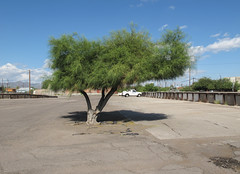 A palo verde in a parking lot. (Tim Kiser) Tags: 2015 20151004 arizona arizonalandscape franklinstreet img4543 northstoneavenue october october2015 parkinsonia pimacounty pimacountyarizona stoneavenue stoneandfranklin tucson tucsonarizona tucsonlandscape westfranklinstreet downtown downtowntucson landscape lightpoles mostlysunny paloverde paloverdetree parking parkinglot parkinglotlandscape parkingspaces paved pavement shade shadetree southarizona southeastarizona southeasternarizona southernarizona urbanlandscape view unitedstates