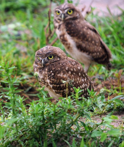 burrowing owls1